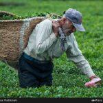 Tea harvest14