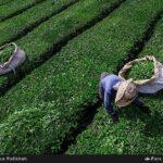 Tea harvest15
