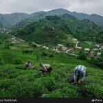Tea harvest16