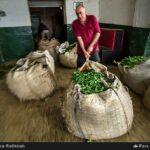 Tea harvest18