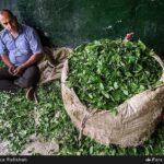 Tea harvest19