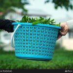 Tea harvest21