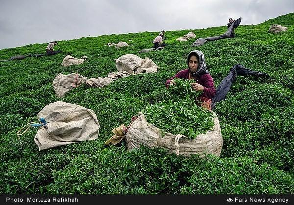 Tea harvest22