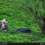 Tea harvest3