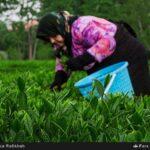 Tea harvest4