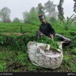 Tea harvest5