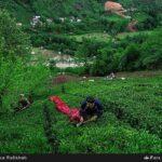 Tea harvest57