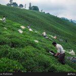 Tea harvest6