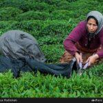 Tea harvest7