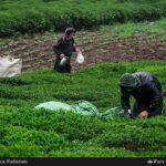 Tea harvest8
