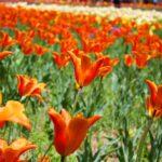 Tulip Festival1