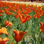 Tulip Festival68