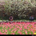 Tulip Festival_12