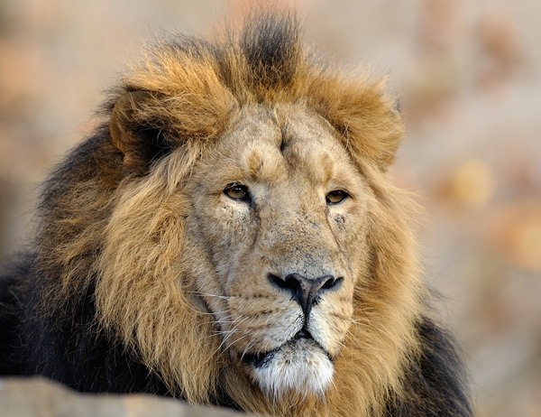 A Fake Indian Name For The Persian Lion on animal art lions