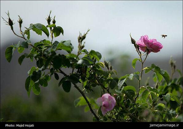 rosewater57_b