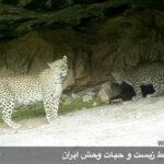 Persian leopards