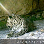 Persian leopards-3