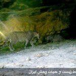 Persian leopards00