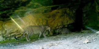 Persian leopards00