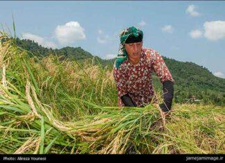 Rice harvest00