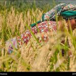 Rice harvest10