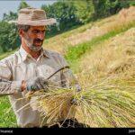 Rice harvest11