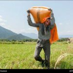 Rice harvest15