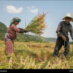 Rice harvest16