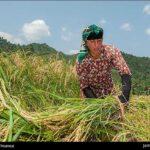 Rice harvest17