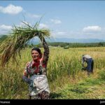 Rice harvest18