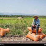 Rice harvest19