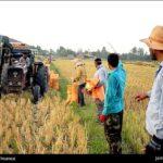 Rice harvest2