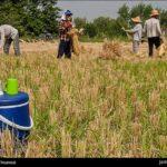 Rice harvest20