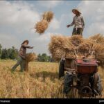 Rice harvest21