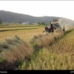 Rice harvest3