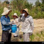 Rice harvest7