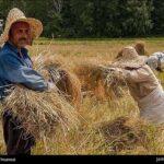 Rice harvest8