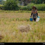 Rice harvest9