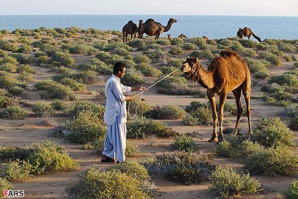 Camel riding in southeastern Iran