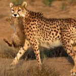 cheetah0