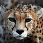cheetah10