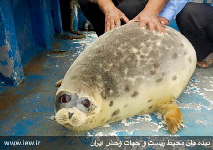 Caspian seals0