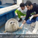 Caspian seals1