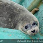 Caspian seals2