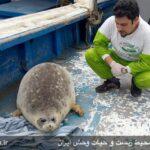 Caspian seals3