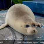 Caspian seals6