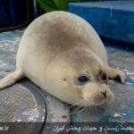 Caspian seals6