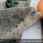 Caspian seals7