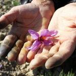 Saffron (3)