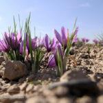 Saffron (4)